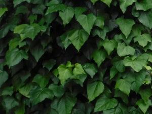 ヘデラカナリエンシス(オカメヅタ,カナリーキヅタ)